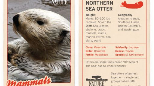 Infographic: Northern Sea Otter