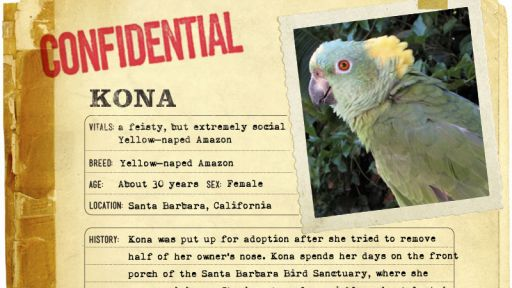 Infographic: Kona, the Yellow-naped Amazon fact sheet