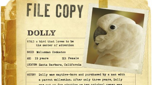 Infographic: Dolly, the Moluccan Cockatoo fact sheet