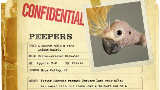 Infographic: Peepers, the Citron-crested Cockatoo fact sheet