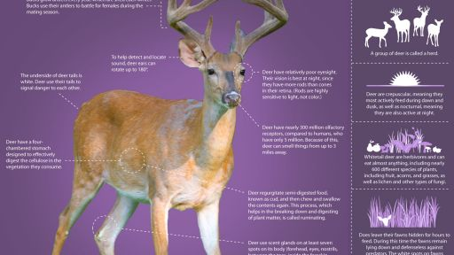 Infographic: Learn About the Whitetailed Deer