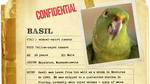 Infographic: Basil, the Yellow-naped Amazon fact sheet