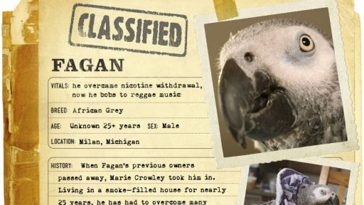 Infographic: Fagan, the African Grey fact sheet