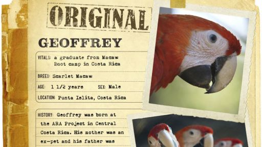 Infographic: Geoffrey, the Scarlet Macaw fact sheet