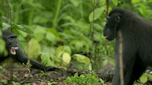 Why Crested Black Macaques Fight