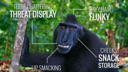 Infographic: The Crested Black Macaque