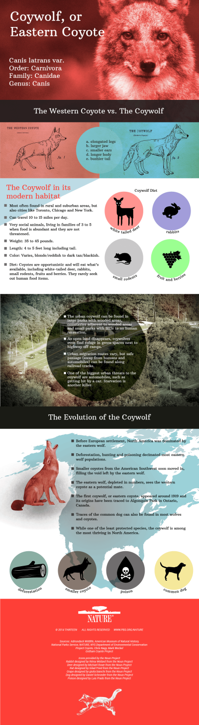 A Field Guide to the Coywolf