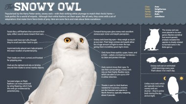 Magic of the Snowy Owl | About | Nature | PBS