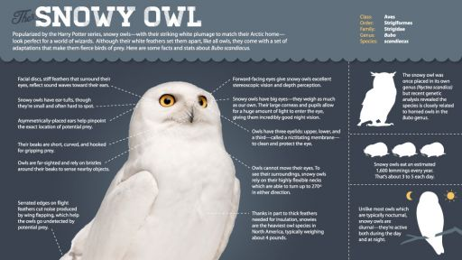 Infographic: All About Snowy Owls