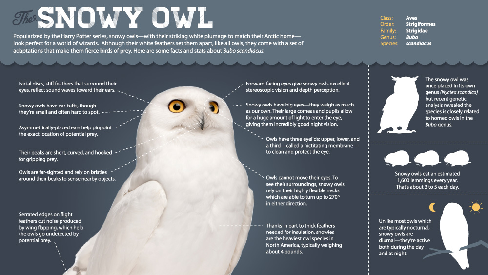 Magic of the Snowy Owl | Infographic: All About Snowy Owls ...