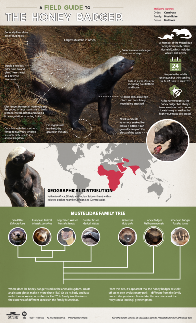 Infographic: A field guide to the Honey Badger