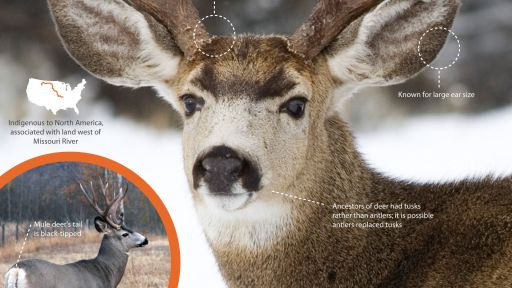 Infographic: North America's Mule Deer