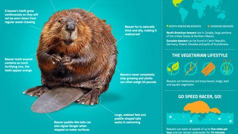 beavers nature pbs Eurasian Beaver Kit leave it to beavers