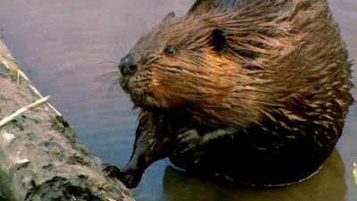 Beaver Photos: Beavers at Work