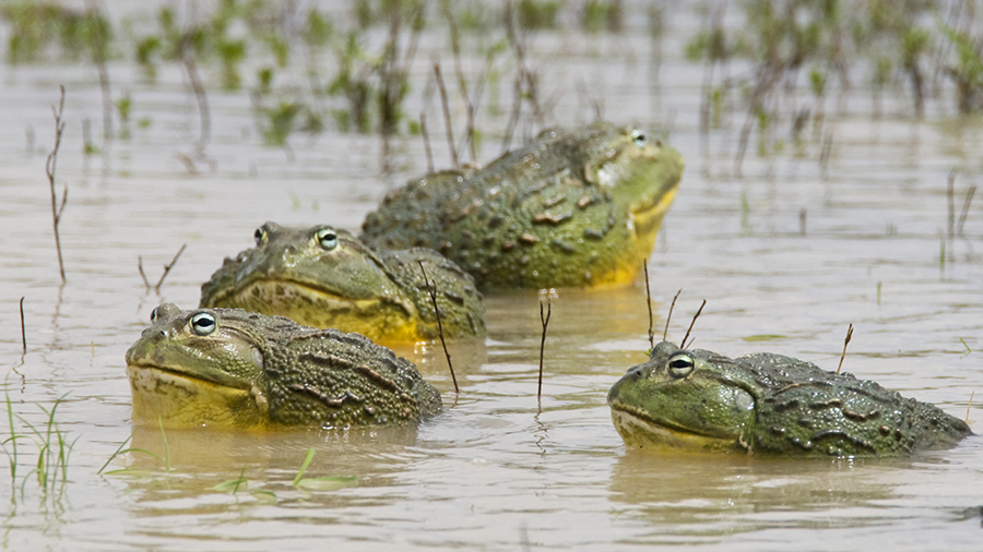 African Bullfrogs