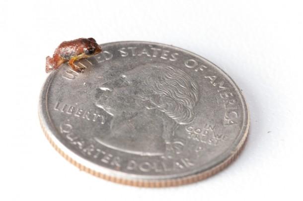 Macaya Breast-spot Frog/<i>Robin Moore</i>