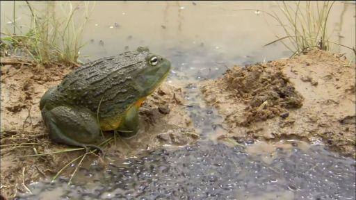 Bullfrog Dad Protects the Brood