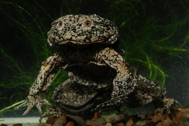 Titicaca Water Frog/<i>Alberto Munoz</i>
