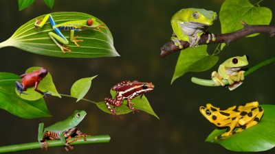 Attenborough's Family of Fabulous Frogs