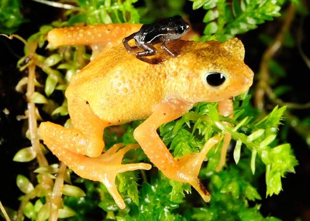 Kihansi Spray Toad/<i>Julie Larsen Maher-Wildlife Conservation Society</i>