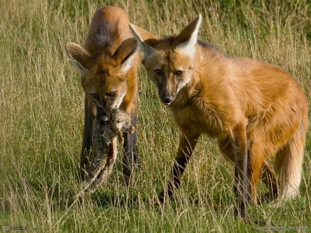 maned-wolf-cubs-feeding