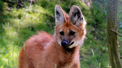 Featured Creature: Maned Wolf