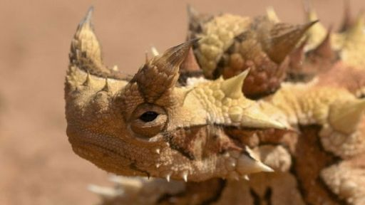Featured Creature: Thorny Devil
