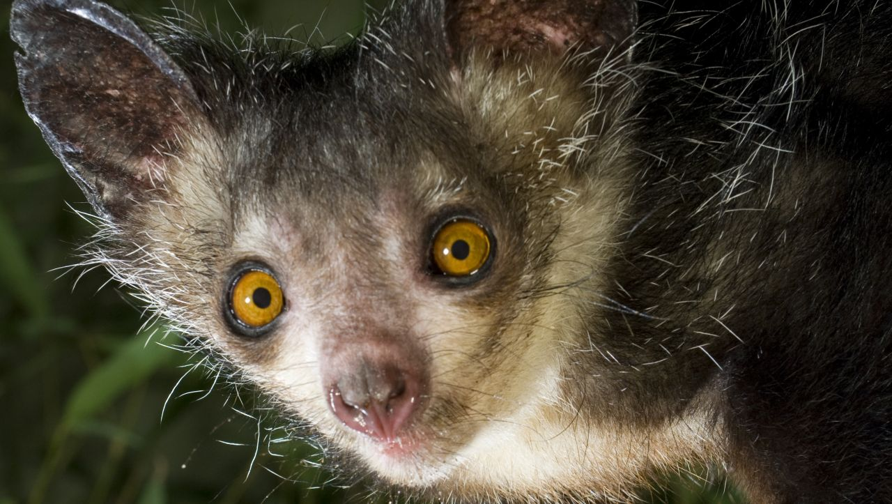 Featured Creature: Aye-Aye | Blog | Nature | PBS
