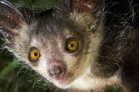 Featured Creature: Aye-Aye
