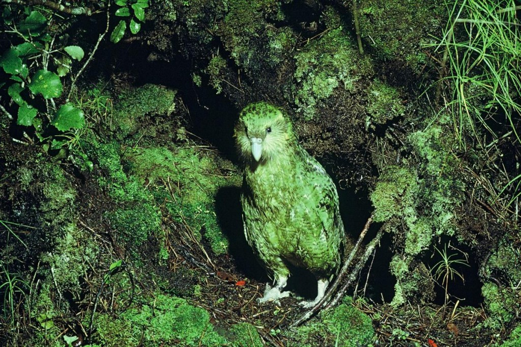 The kakapo's feathers help it blend in with the mossy forest floor.