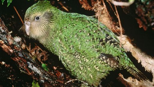 Featured Creature: Kakapo