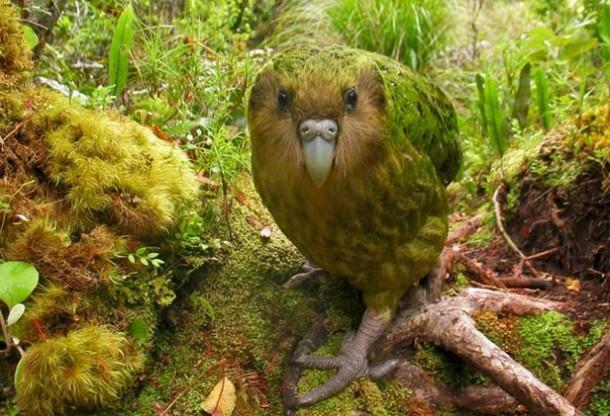 The kakapo