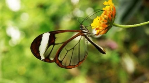 Featured Creature: Glasswinged Butterfly