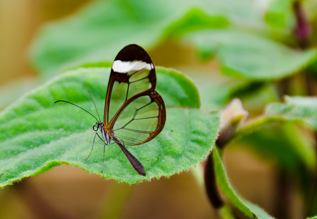 Greta Oto (Glasswing) Butterfly