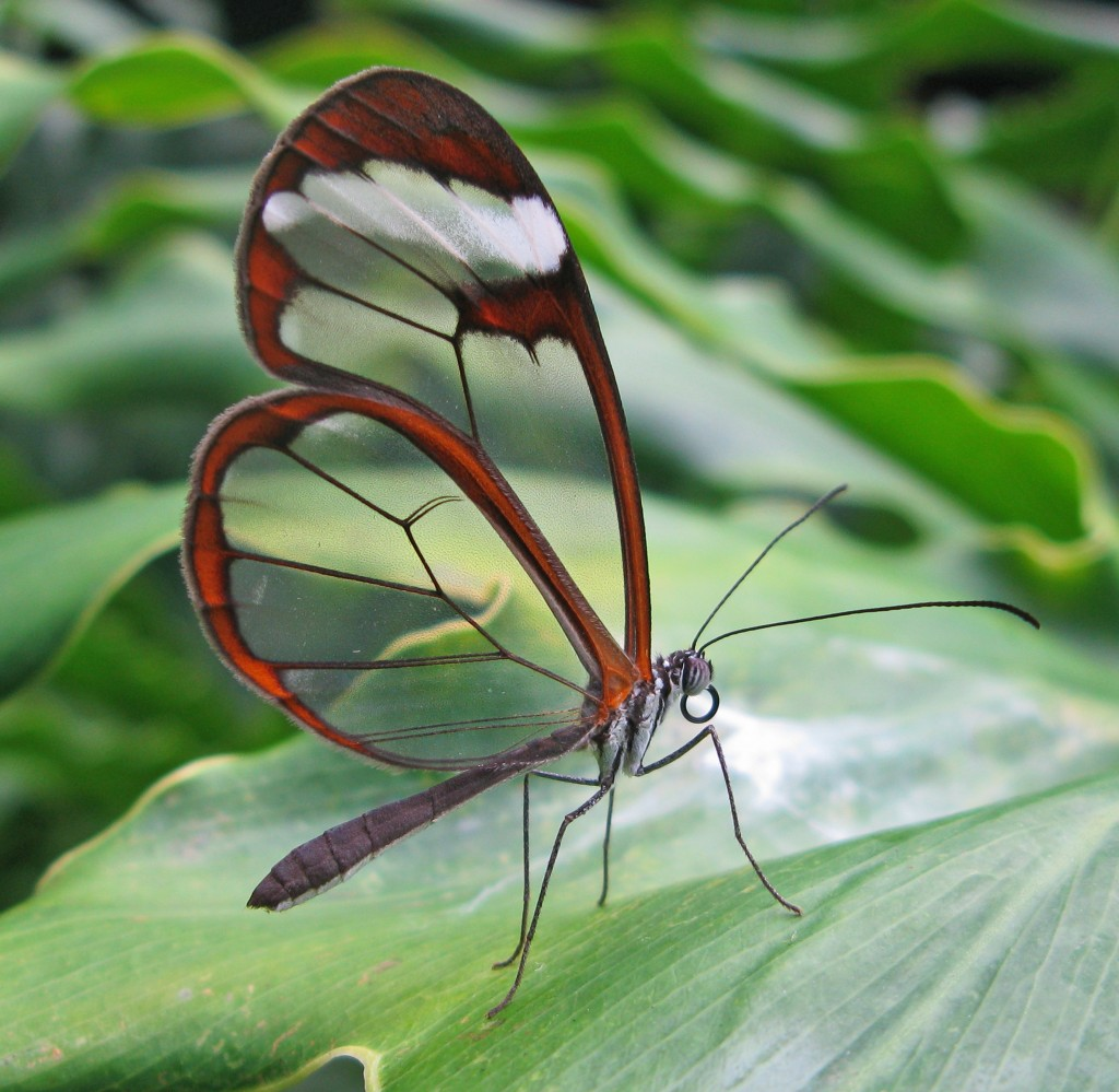 Featured Creature: Glasswinged Butterfly | Blog | Nature | PBS