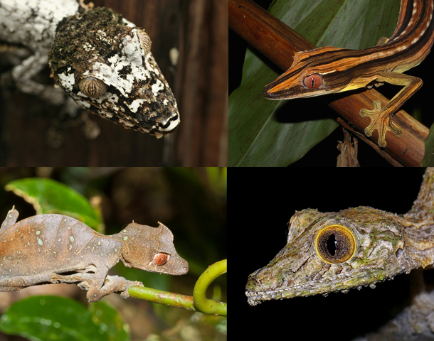 gecko_collage