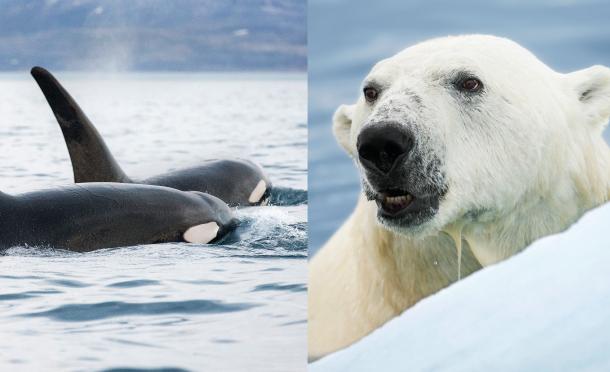 orca_bear_combo