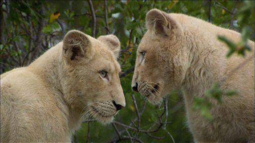 NATURE Celebrates World Lion Day