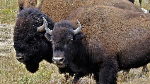 American Buffalo: Spirit of a Nation