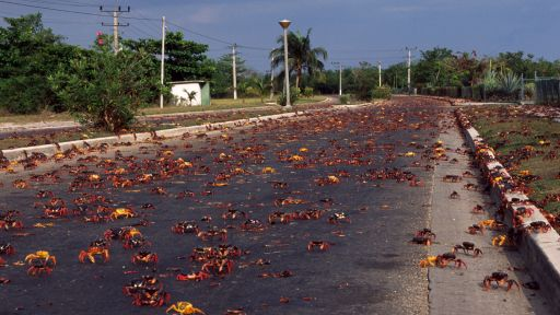 Cuban Crab Invasion