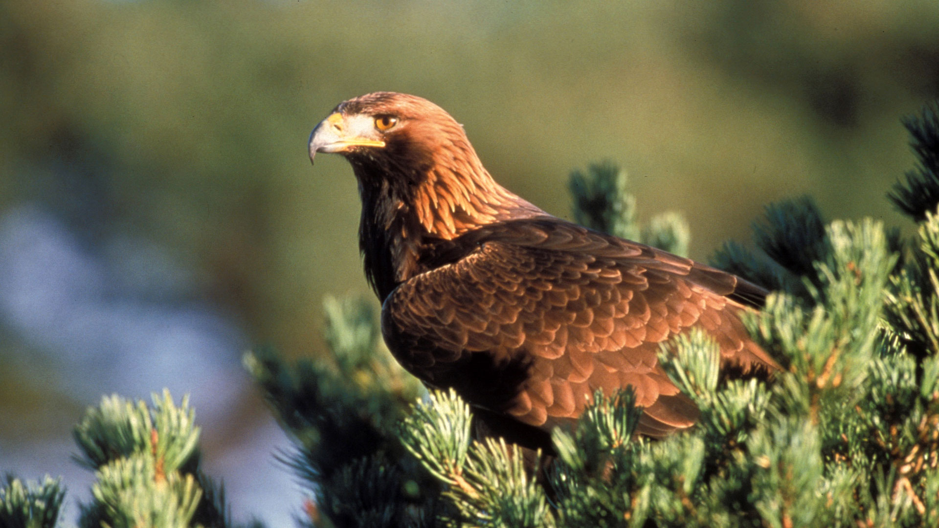 Eagles About Nature Pbs
