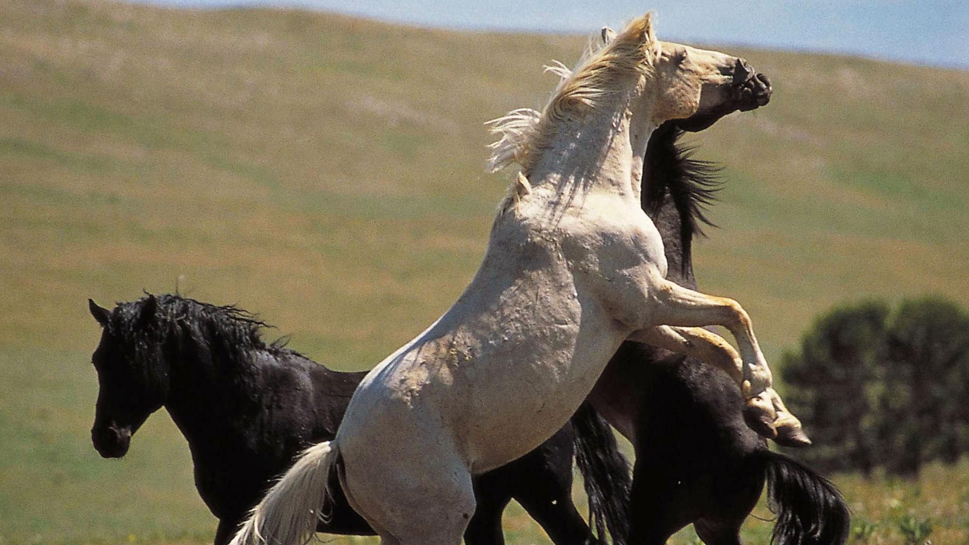 Cloud Wild Stallion Of The Rockies Full Episode Nature Pbs