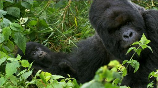 Clip |   Saving the Mountain Gorilla