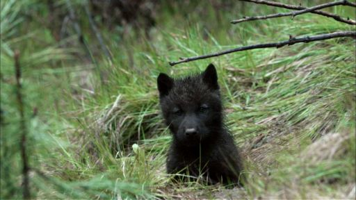 River of No Return -- Wolf Pups Right Off the Trail