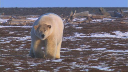 Clip |   A Polar Bear Approaches
