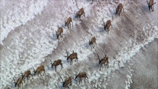 Clip |   Caribou Shaping the Landscape