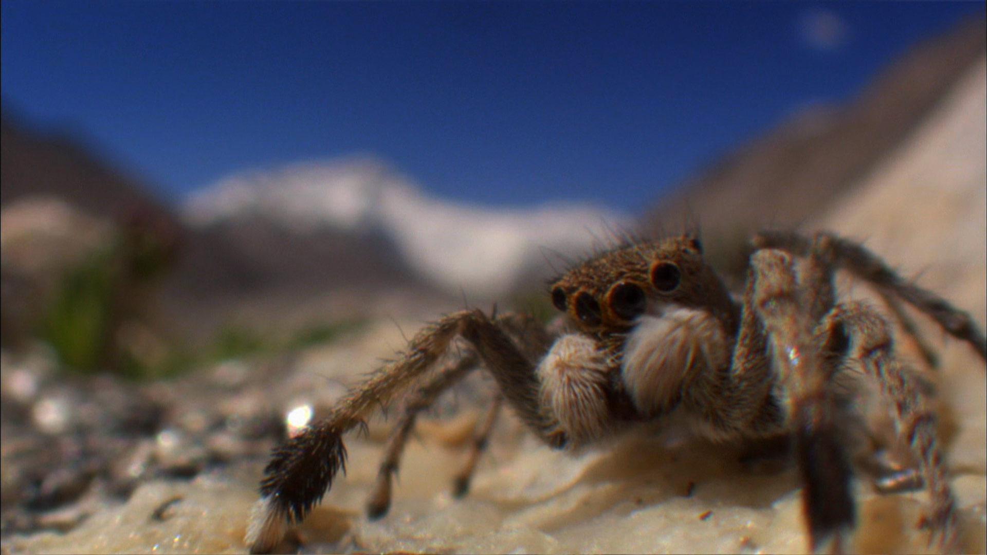 The Himalayas The Himalayan Jumping Spider Nature Pbs