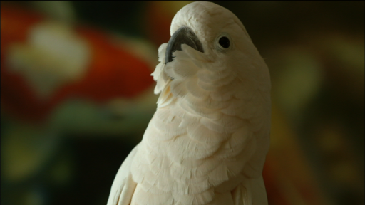 Clip |   Meet Dolly, the Moluccan Cockatoo