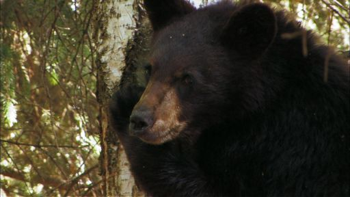 Bears of the Last Frontier: The Road North -- Snacking on Garbage