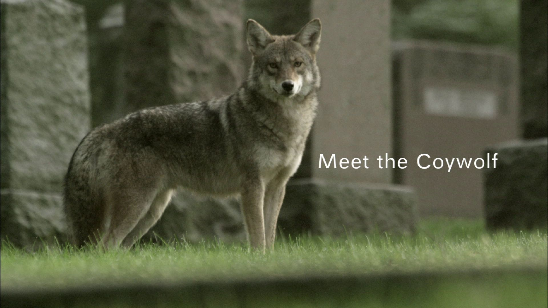 meet the coywolf trailer park